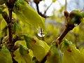 Forsythia Drop (456470194).jpg