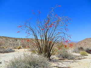Fouquieria splendens - An ocotillo in spring bloom on Pinyon Wash Road in Anza-Borrego Desert State Park, California