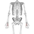 Fourth metacarpal bone 01 palmar view.png
