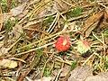 Fragaria virginiana 4-eheep (5097299421).jpg