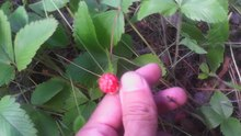 Файл:Fragaria viridis - natural growth area.webm