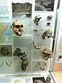 Frammenti di cranio di australopithecus boisei e australopithecus robustus - Museo di Storia Naturale di Milano.JPG