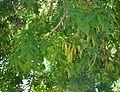 Fraxinus syriaca syrian Ash-Tree სირიული იფანი (2).JPG