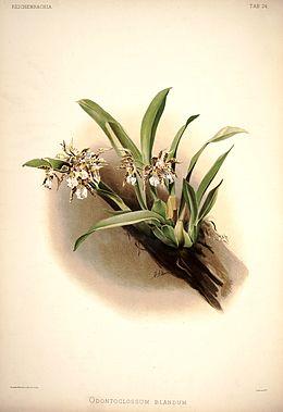 Frederick Sander - Reichenbachia I plate 24 (1888) - Odontoglossum blandum