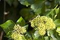 Frelon asiatique sur Hedera helix (lierre).jpg