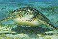 Friendly Green Sea Turtle (48940725538).jpg