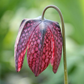 Fritillaria - F. meleagris showing campanulate perianth with tesselated segments