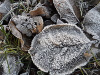 Frost and leaves.JPG