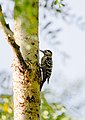 Fulvous-breasted woodpecker (Dendrocopos macei) 3.jpg