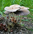 Fungi Poznan Winiary.jpg
