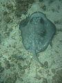 Galapagos stingray.jpg