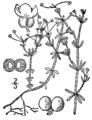 Galium trifidum BB-1913.png