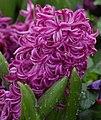 Garden Hyacinth Hyacinthus orientalis 'Purple Voice' Flower 1644px.JPG