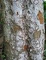 Gardenia brighamii (4756045197).jpg