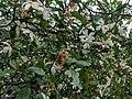Gardenia sp 17.jpg
