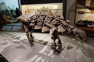 Thyreophora - Skeletal mount of Gastonia burgei, BYU Museum of Paleontology