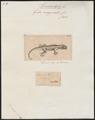 Gecko marginatus - 1700-1880 - Print - Iconographia Zoologica - Special Collections University of Amsterdam - UBA01 IZ12300081.tif