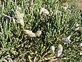 Genista obtusirramea. Xenista forniella.jpg