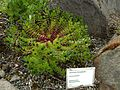 Gentiana hexaphylla (Reykjavík BG).jpg