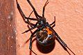 Geometric Button Spider (Latrodectus geometricus) (6857121274).jpg