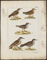 Geositta cunicularia - 1820-1860 - Print - Iconographia Zoologica - Special Collections University of Amsterdam - UBA01 IZ19200133.tif