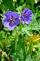 Geranium ibericum IberianCrane's Bill ქართული ნემსიწვერა.JPG