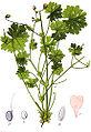 Geranium molle Sturm4.jpg