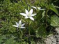 GewoneVogelmelk-bloem-kl.jpg