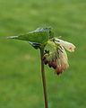 Gewone smeerwortel (Symphytum officinale) 02.JPG