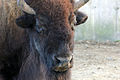 Gfp-face-of-america-bison.jpg