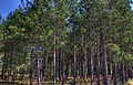 Gfp-wisconsin-governor-thompsons-state-park-pine-forest.jpg
