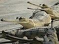 Gharial Crocodiles - Conservation Breeding Center - Kasara - Chitwan National Park - Nepal - 02 (13907462611).jpg