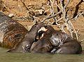 Giant Otters (Pteronura brasiliensis) quarelling ... (31724375471).jpg