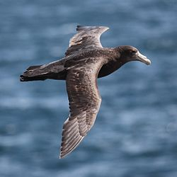 Giant Petrel flying over the South Atlantic (5544288686).jpg