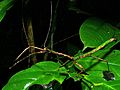 Giant Stick Insect (Phasmatidae)(Id?) (8424501578).jpg