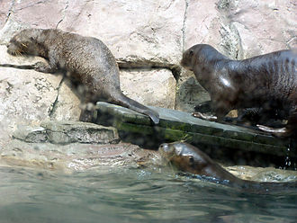 Giant otter - Giant otters leave a pool together at the Philadelphia Zoo. The species is extremely social, a rarity among mustelids, and family groups are cohesive.