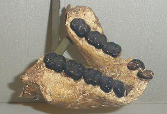 Gigantopithecus - G. bilaspurensis jaw
