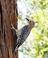 Gila Woodpecker (18144768331).jpg