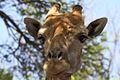 Giraffa camelopardalis (head).jpg