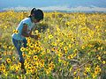 Girl in Sunflowers, August (12640854173).jpg