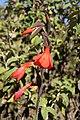 Gladiolus watsonioides mtkenya 01.jpg