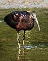 Glossy Ibis Plegadis falcinellus by Dr. Raju Kasambe DSCN0962 (4).jpg