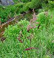 Glyceria maxima Reed Sweet Grass წყლის მანანა.JPG