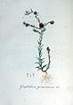Gnaphalium germanicum — Flora Batava — Volume v6.jpg