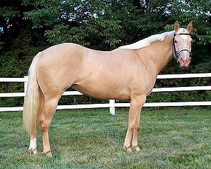 Champagne gene - Gold champagne, chestnut base diluted by champagne gene.  Note similarity to palomino, but distinguished by mottling around nose