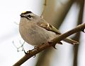 Golden-crowned kinglet2 (NJ).jpg
