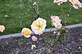 Golden Gate Park Rose Garden 1 2017-06-12.jpg