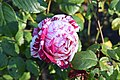 Golden Gate Park Rose Garden 8 2017-06-12.jpg