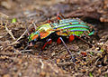 Golden Ground Beetle (Carabus auronitens auronitens) hibernating in dead wood (13522879025).jpg