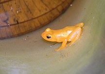 Guyana-Environment and biodiversity-Golden frog Kaieteur (2)